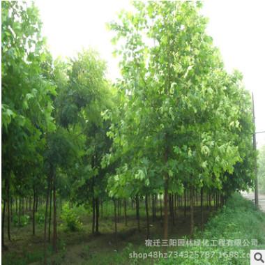 基地大量供应法桐 梧桐树 城市行道树 法桐树 量大优惠
