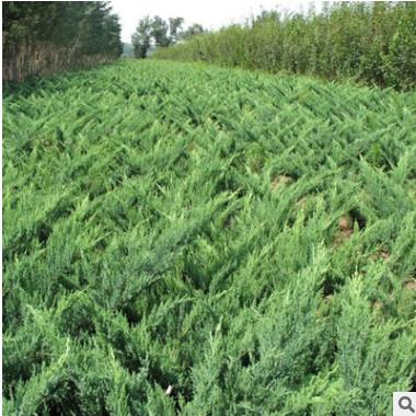 批发灌木 沙地柏 沙地柏树苗 铺地柏 绿化苗工程用苗 价格低质优