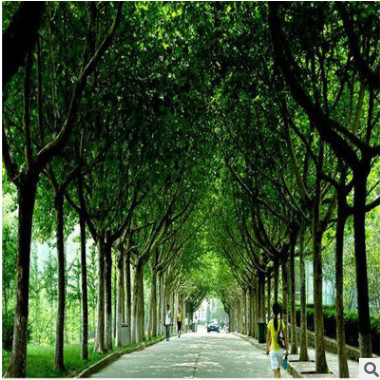 供应工程绿化用行道树法桐悬铃木胸径15公分法桐山东鲁西南直供
