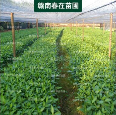 江西草珊瑚种苗 九节蛇种子 草珊瑚树苗