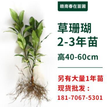 草珊瑚苗种子批发供应种植技术接骨木九节茶森林套种经济植物