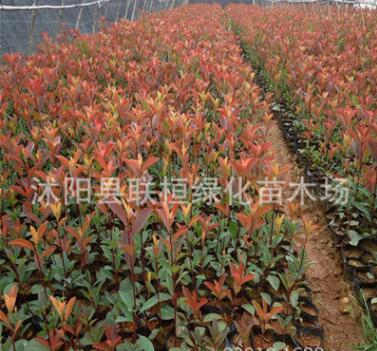 园林绿化苗木 红叶石楠球 红叶石楠苗 红叶石楠树苗