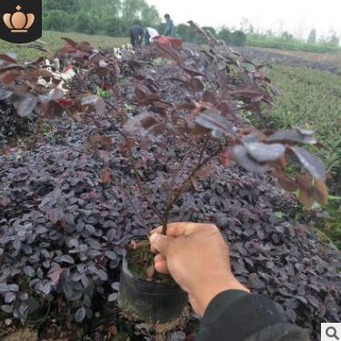批发常绿灌木红花继木大小杯 地苗 工程用苗杯苗