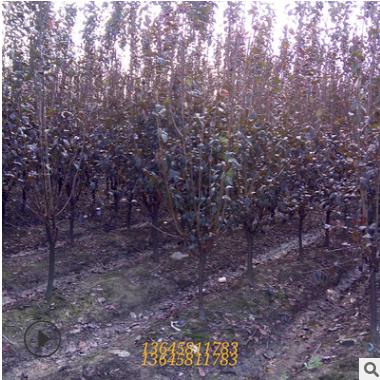 红叶李 紫叶李 中层小乔木 开花植物 道路绿化 各种规格工程批发