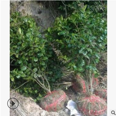 茶埖 农户直销 茶埖球 茶梅球 等各种规格 绿化工程 大量批发价优