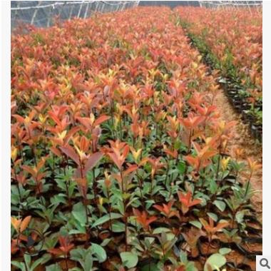 红叶石楠球 各种规格 萧山基地直销 园林 绿化 大量批发 市政园林