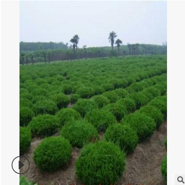 杭州萧山 龙柏球 精品球类 绿化批发价格 圃基地 小龙柏 大量供应
