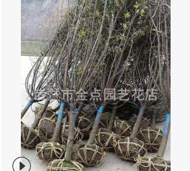 红梅 萧山基地直销 红梅 腊梅 茶梅 各种规格 绿化工程 大量批发