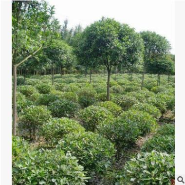 海桐 萧山 圃直销 各种规格 海桐小 海桐球 绿化工程 批发