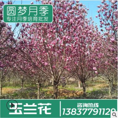 种植基地直销树干3-5cm粗 白玉兰树 庭院别墅美化小区玉兰树批发