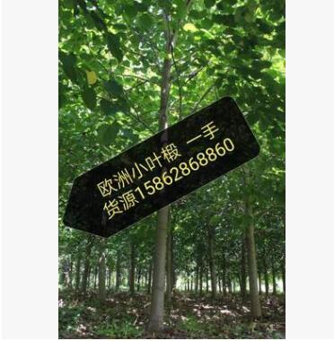 欧洲小叶椴 椴树基地直销 量大优惠