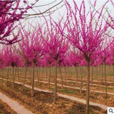 基地直销巨紫荆绿化苗木  量大从优