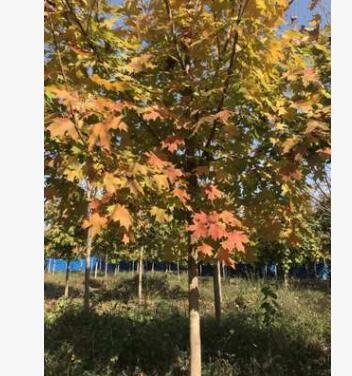 复叶槭 5-15公分批发工程基地直销 行道树 量大优惠