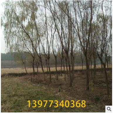产地货源柳树 1-20公分常绿性黄色系