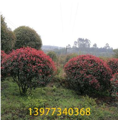 红叶石楠球 1-15米常绿性黄色系