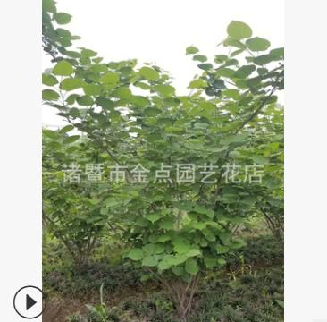 紫荆 萧山 基地 直销 木槿 腊梅 绿化工程 市政园林 大量批发
