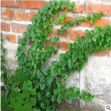 爬山虎苗子三叶地锦攀援爬藤植物庭院长廊墙体绿化 五叶地锦