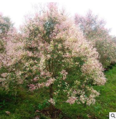 桃红彩楠 规格齐全苗木基地批发直销行道庭院园林景观绿化