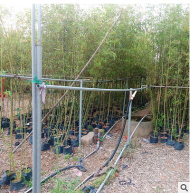 刚竹 规格齐全苗木基地批发直销行道庭院园林景观绿化