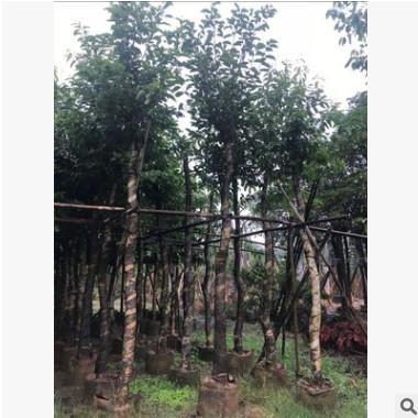 低价供应绿化苗木海南蒲桃花木农户自家花场直销宠物及园艺园林