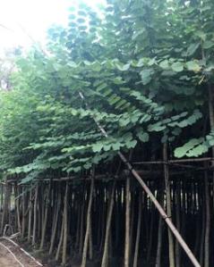 基地直销宫粉紫荆 大量批发 园林景观工程供应 规格齐全