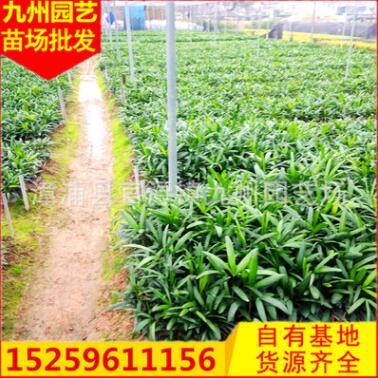棕竹盆栽 福建种植基地大量批发 园林景观工程绿化供应