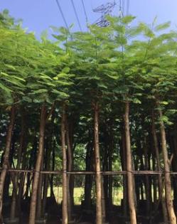 常年现货供应红花楹 多规格直销批发 宏景园艺绿化工程树苗木
