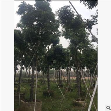 基地直销 海南红豆 海红豆 行道树绿化批发