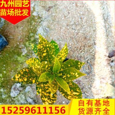 基地自销变叶木 批发彩霞变叶木 大量供应洒金变色木盆栽