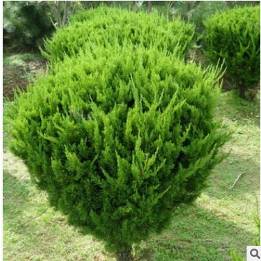 龙柏球 规格齐全 批发量大优惠 园林绿化 桧柏 塔柏 铺地柏 地龙