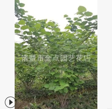 紫荆 农户直销 紫荆 小丑火棘 各种规格 绿化工程 批发 价格优惠