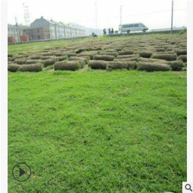 基地供应 果岭草 百慕大 马尼拉 草坪长期 供应 各类规格