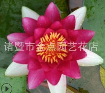 睡莲 萧山基地直销 睡莲 荷花 各种 水生植物 大量批发 价格优惠