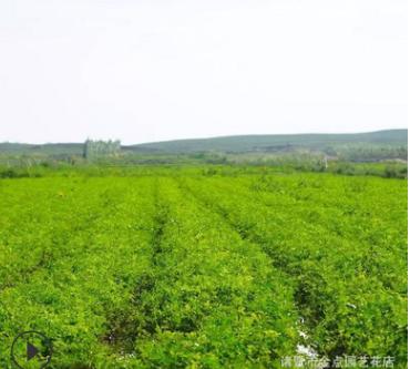 基地供应 薄荷 各种规格 绿化工程 成活率高