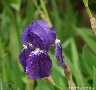 苗圃提供 紫花鸢尾 品种齐全 成活率高 耐寒地被