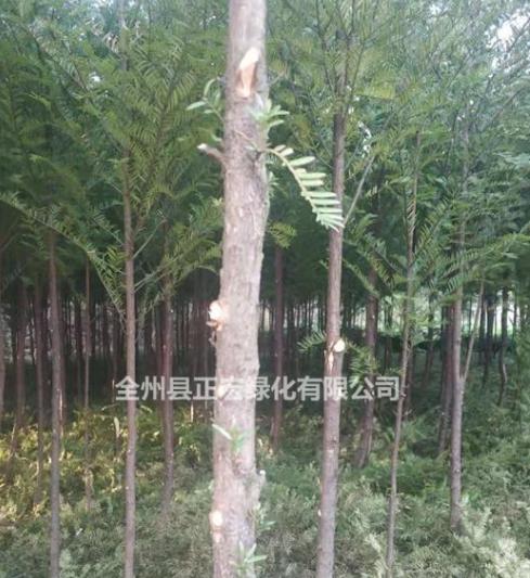红豆杉产地