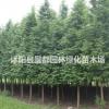 绿化苗木水杉 金叶水杉