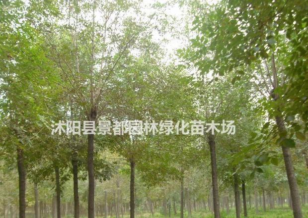 耐寒绿化苗木白腊 白腊小苗 白腊树苗 多种规格