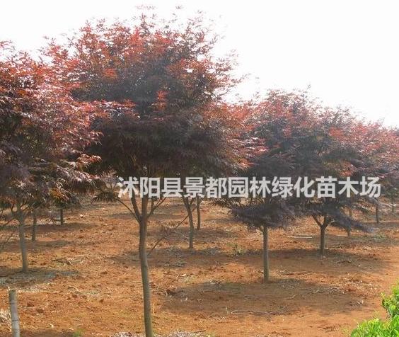 彩叶绿化苗木日本红枫 中国红枫 美国红枫 红枫小苗