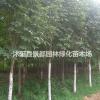 绿化苗木红花七叶树