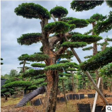 基地直销 造型榆树桩景批发 古桩榆树 骨架树高