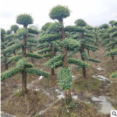 基地直销 造型小叶女贞桩景批发 15-20公分 女贞造型树 常规C