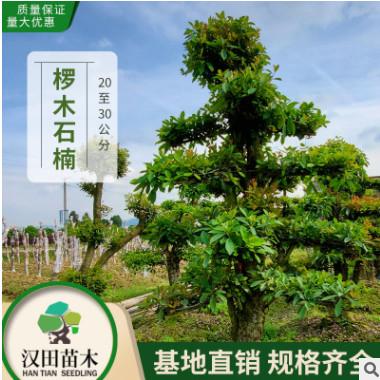 基地直销 造型椤木石楠桩景批发 造型树椤木石楠桩20-25-30公分
