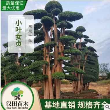 基地直销 造型小叶女贞桩景批发 40-50公分古桩女贞造型树 常规A