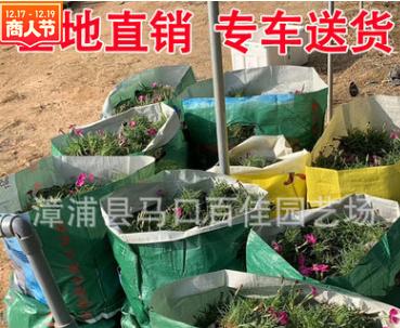 欧石竹 高度15-20 价格1.2 福建漳州基地直销 量大从优