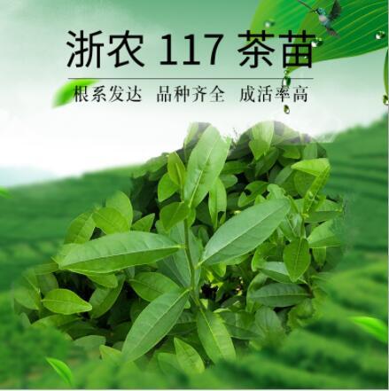 浙农117#茶苗 茶树苗 无性系繁殖苗 品质保证 苗场直售