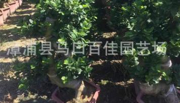 榕树、S弯榕树、造型榕高度1.2米价格120元 漳州基地直销