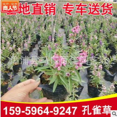 孔雀草 高度20-25价格1.2 福建漳州基地直销