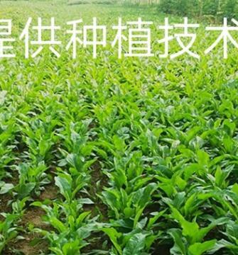 批发紫苑种苗提供技术回收药材紫苑