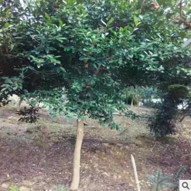 苗圃直销绿茶大树 工程绿化植物批发 精品苗木绿茶大树厂家直供